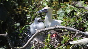 Red-Footed Booby and Chick in Belize stock footage