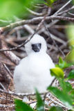 Red Footed Booby Chick Royalty Free Stock Photography