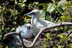 Red-Footed Booby and Chick on Half Moon Caye, Belize. A Red-footed booby sits with its chick on a nest in a breeding colony on Half Moon Caye, part of a UNESCO stock photo