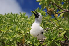 Red-footed booby chick Royalty Free Stock Photo