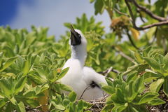 Red-footed booby chick royalty free stock image