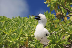 Red-footed booby chick Stock Photo
