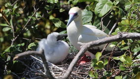 Red-Footed Booby and Chick in Nest stock footage