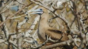 Red-footed booby and chick on nest at isla genovesa in the galapagos stock photos