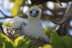 Nesting Red-Footed Booby Bird royalty free stock photography