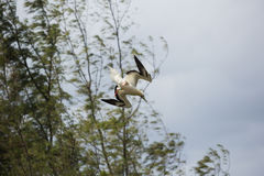 Red footed booby coming overhead to land. Selective focus on the bird, background is out of focus Stock Photo