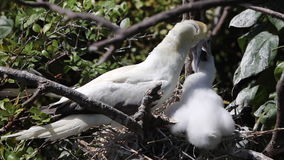 Red-Footed Booby Feeding Chick in Belize stock footage