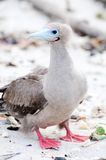 Red footed booby Royalty Free Stock Photos