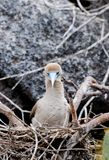 Red footed booby Stock Photo