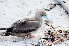 Red footed booby Stock Photography