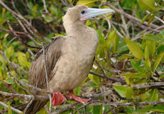 Red-Footed Booby, Galapagos Islands Stock Images