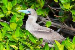 Red-footed booby on Genovesa island, Galapagos National Park, Ec Royalty Free Stock Image