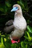 Red-footed booby on Genovesa island, Galapagos National Park, Ec