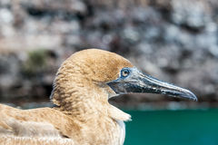 Red Footed Booby Juvenile Royalty Free Stock Photography