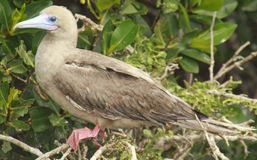 Red Footed Booby on Perch Royalty Free Stock Photos