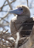 Red Footed Booby on Perch Stock Photography