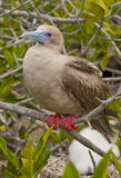 Red Footed Booby on Perch Royalty Free Stock Photo