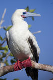 Red Footed Booby Perched on Branch