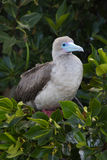 Red-footed booby perched on a mangrove. A red-footed booby rests in the shade in the mangroves on Isla Genovesa, Galapagos Stock Photography
