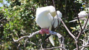 Red-Footed Booby Preening in Belize stock footage