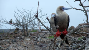Red-footed Booby Royalty Free Stock Images
