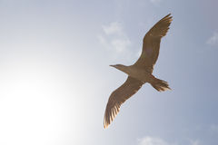 Red-footed booby soars in the sunlight Royalty Free Stock Photo