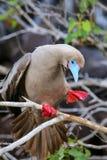 Red-footed booby stretching, Genovesa island, Galapagos National Stock Photo