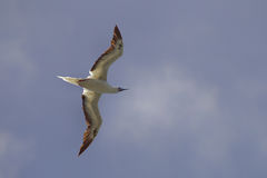 Red-footed Booby Sula sula Stock Photography