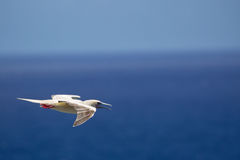 Red-footed Booby Sula sula Stock Images