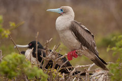 Red-footed Booby (Sula sula websteri) Stock Photo
