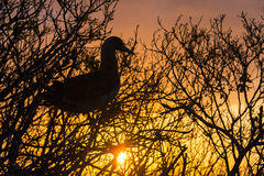 Red Footed Booby Sunset Stock Photography