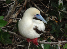 Red-Footed Booby-White Morph, Galapagos Islands Royalty Free Stock Photography