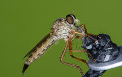 Red-Footed Cannibal fly eating its lunch. Closeup of a Red-Footed Cannibal fly, Promachus Royalty Free Stock Photography