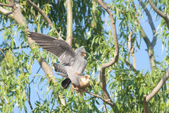 Red Footed Falcon Royalty Free Stock Photo