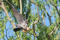 Red Footed Falcon Stock Photography