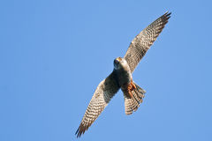 Red Footed Falcon Royalty Free Stock Image