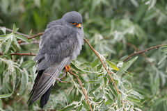 Red-footed Falcon Stock Image