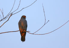 Red-footed falcon Falco vespertinus. Perching on branch Royalty Free Stock Photos