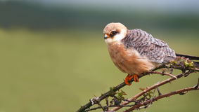 Red-footed falcon Falco vespertinus Royalty Free Stock Photo