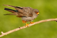 Red-footed Falcon, Falco vespertinus, bird sitting on branch with clear green background, cleaning plumage, feather in the bill, a. Red-footed Falcon, Falco Royalty Free Stock Photo