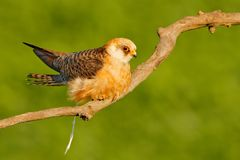 Red-footed Falcon, Falco vespertinus, bird sitting on branch with clear green background, cleaning plumage, feather in the bill, a. Red-footed Falcon, Falco Royalty Free Stock Image