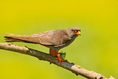 Red-footed Falcon, Falco vespertinus, bird sitting on branch with clear green background, cleaning plumage, feather in the bill, a. Red-footed Falcon, Falco Stock Image
