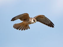 Red-footed falcon (Falco vespertinus) Royalty Free Stock Image