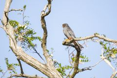 Red Footed falcon, Falco vespertinus stock image