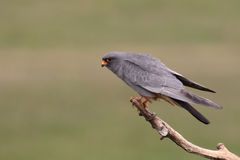 Red-footed falcon, Falco vespertinus Royalty Free Stock Images