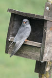 Red-footed falcon, Falco vespertinus Stock Photography