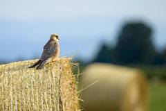 Red-footed Falcon Stock Images