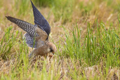 Red-footed Falcon Royalty Free Stock Photo