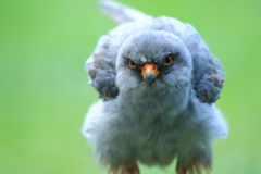 Red-footed falcon Royalty Free Stock Image