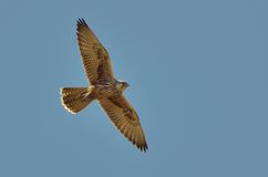 Red-footed falcon flying Stock Photos
